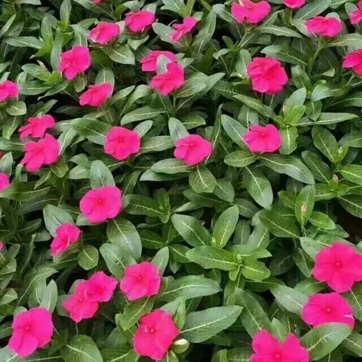西安灞桥区长春花种子