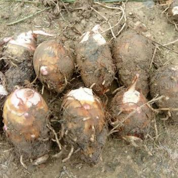 红芋芽 2019高产脱毒红芽芋种苗出售