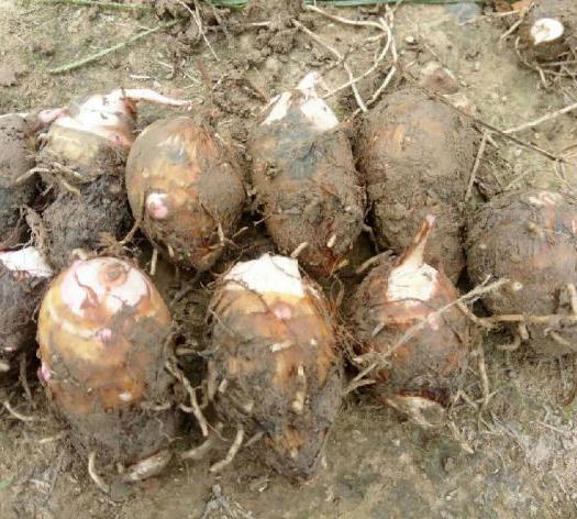 江西省上饶市玉山县红芋芽 2019高产脱毒红芽芋种苗出售