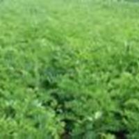 绛县紫穗槐苗 山西紫穗槐供应商,紫穗槐特征及园林用途 - 园林景观植物库