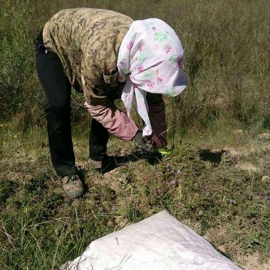 固原原州區 地椒草供應