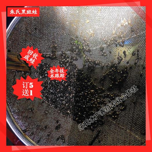 益阳资阳区 湖北江西四川重庆低价供应黑斑蛙蝌蚪种苗 保证成活率实数保证