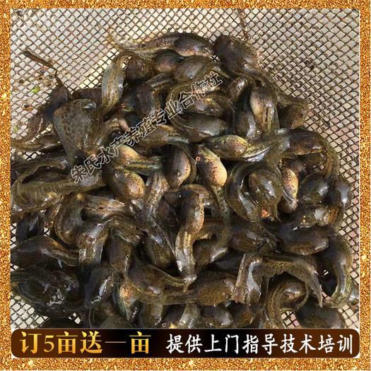 益阳资阳区黑斑蛙蝌蚪 青蛙苗 青蛙苗价格 青蛙养殖基地种苗批发 量大价格从优