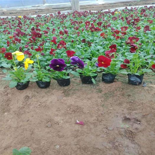 濰坊青州市 大量供應多色三色堇 冬季耐寒草花三色堇 草花生產基地