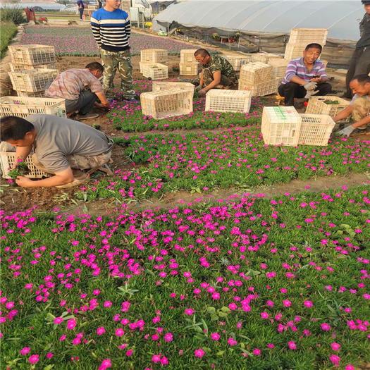 青州市 會開花的草坪歐石竹  耐寒耐熱抗踩花海四季常綠多彩石竹