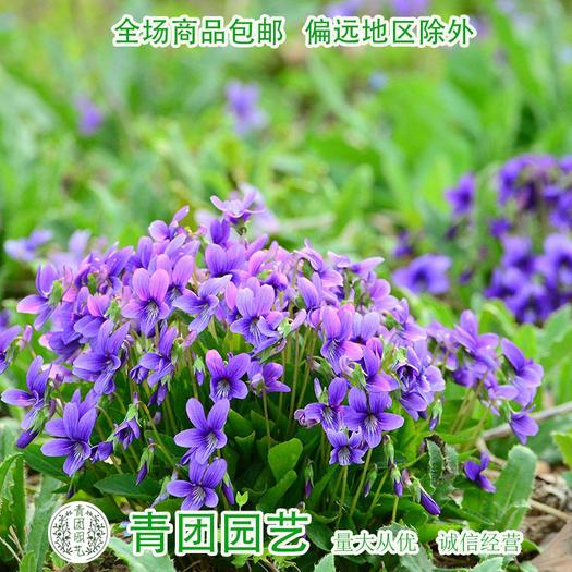 宿迁沭阳县 紫花地丁种子新种子紫色地丁种子包邮
