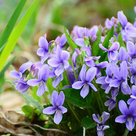 宿迁沭阳县紫花地丁种子 紫花地丁新种包邮紫地丁种子