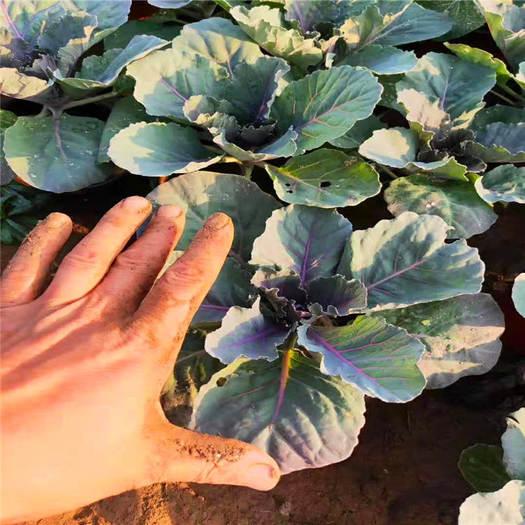 青州市 冬天花卉羽衣甘藍 彩色甘藍菜 甘藍花 耐寒好看