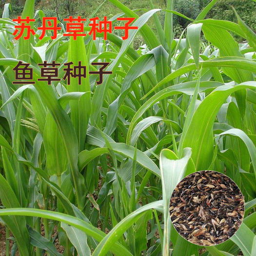 宿迁沭阳县苏丹草种子 苏丹草鱼草种子高高丹草种子新种子包邮
