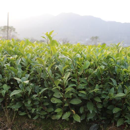 福安市 中茶108 冬插一年生茶苗 福建无性系茶苗