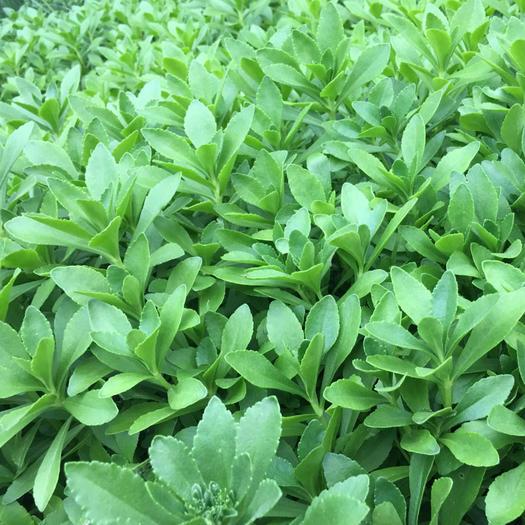 济南 养心菜种苗 费菜苗子 救心菜苗子植物高钙菜阳台盆栽特色菜