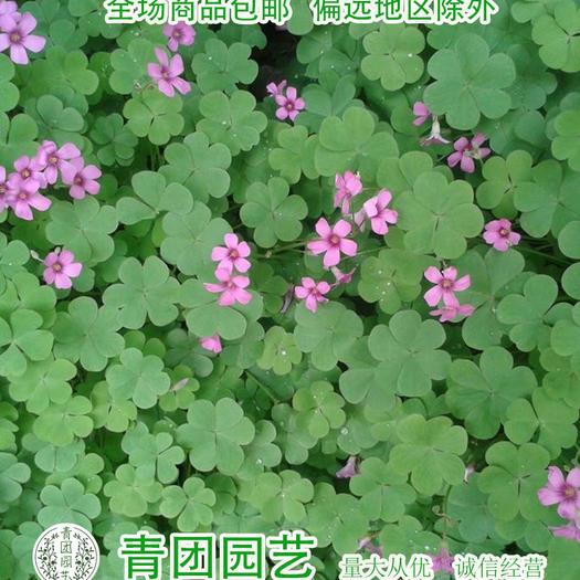 宿迁沭阳县三叶草种子 红三叶种子红三叶新种包邮