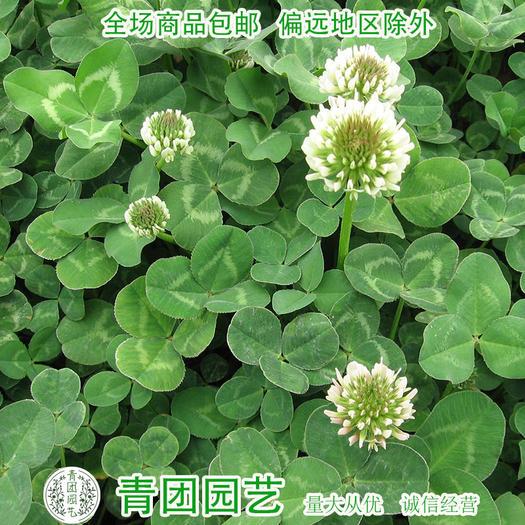 宿迁沭阳县三叶草种子 白三叶种子白车轴草种子白三叶新种包邮