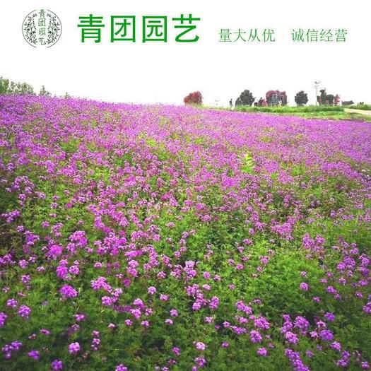 宿迁沭阳县三叶草种子 红三叶种子红三叶新种子包邮