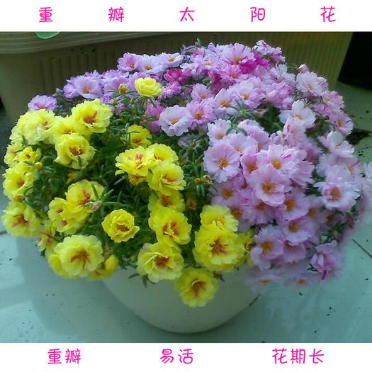 宿迁沭阳县 太阳花种子重瓣太阳花种子包邮