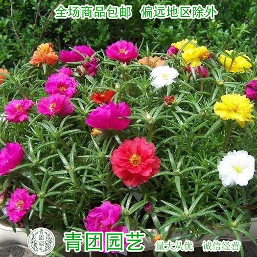 宿迁沭阳县 太阳花种子重瓣太阳花种子各种颜色都有