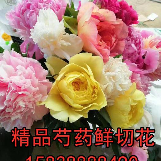洛陽老城區 正宗洛陽芍藥千層重瓣芍藥大花觀賞芍藥鮮切花插花園藝花卉