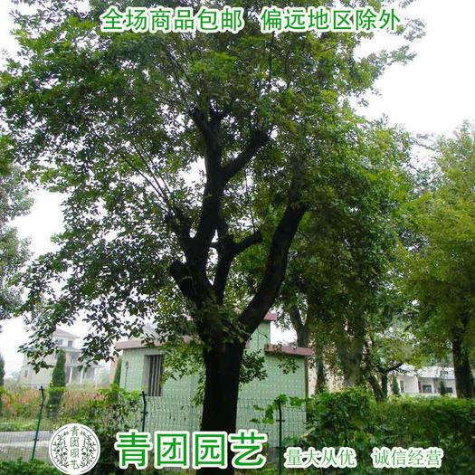 宿迁沭阳县 朴树种子朴树种子包邮