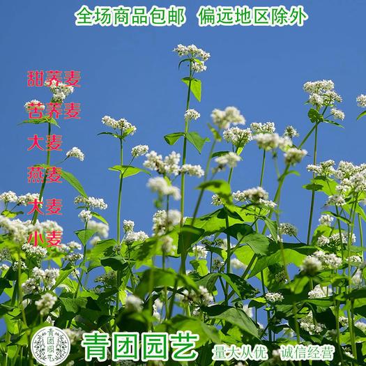 宿迁沭阳县 荞麦种子甜荞麦种子