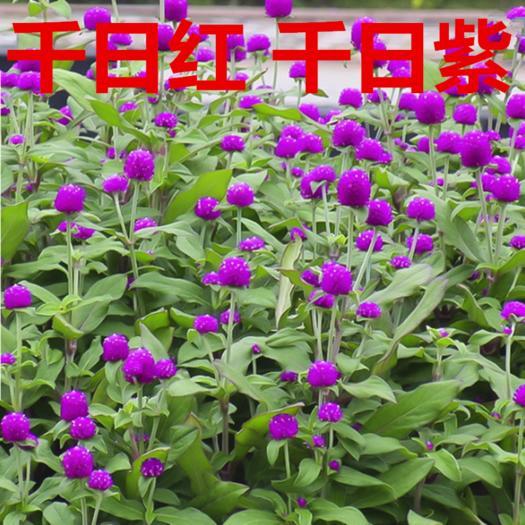 常州天宁区 千日红种子千日紫千日粉花种子四季易活花卉花海野花组合种子