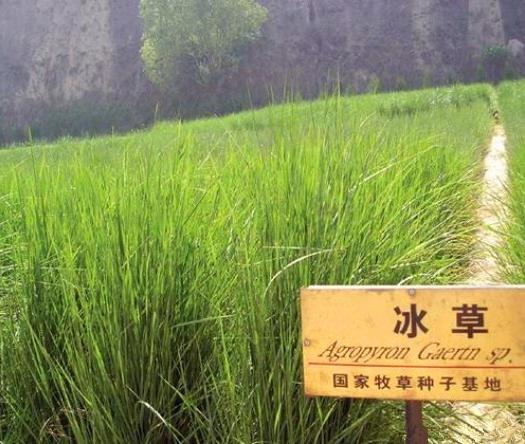 常州天宁区 优质牧草种籽冰草种子别名野麦子扁穗冰草羽状小麦草多年生禾草