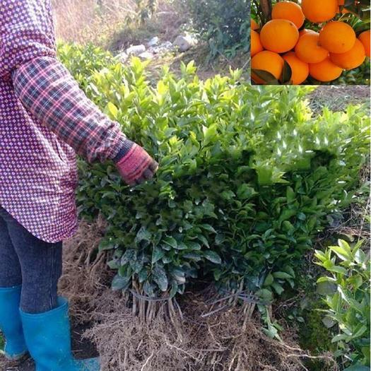 临沂平邑县 蜜奈夏橙树苗 夏橙苗 早熟橙树苗 品种全 提供种植技术