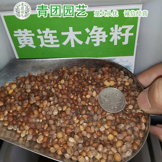 宿迁沭阳县 黄连木种子包邮