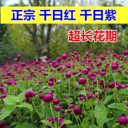 宿迁沭阳县 千日红种子千日紫春播观花种子百日红火球花景观绿化易活花籽四