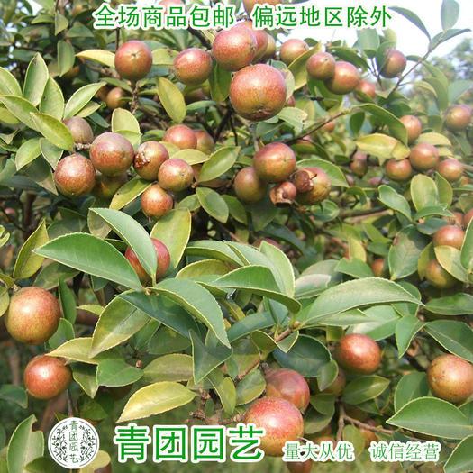 宿迁沭阳县 油茶种子包邮白花油茶种子红花油茶种子