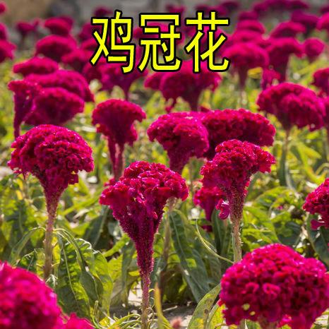 宿迁沭阳县 鸡冠花种子包邮庭院室外春秋播种花多肉植物景观绿化花卉盆栽种