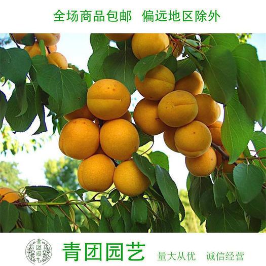 宿迁沭阳县 杏树种子杏树新种子包邮