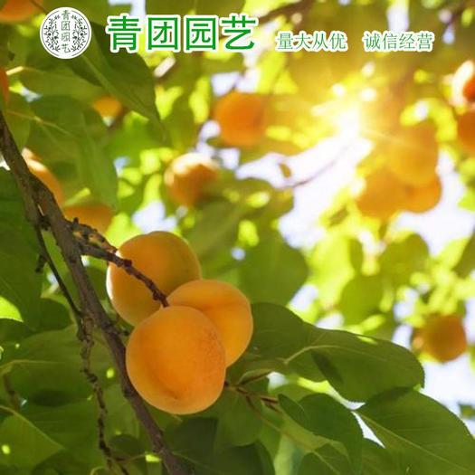宿迁沭阳县 杏树种子杏树新种包邮