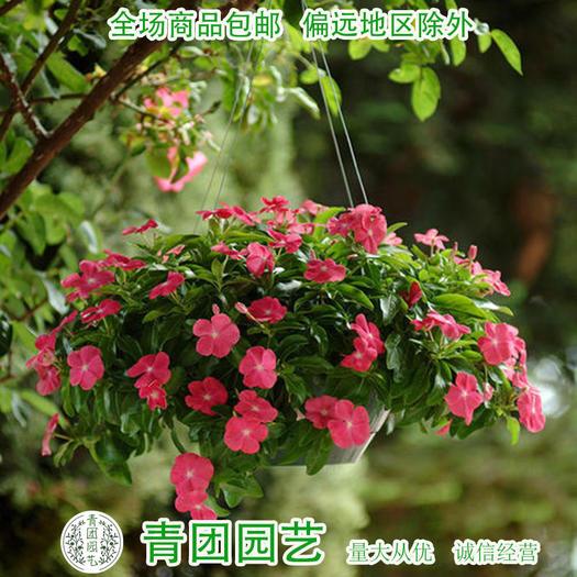 宿迁沭阳县 长春花种子长春花新种包邮白色粉红色大红色长春花种子