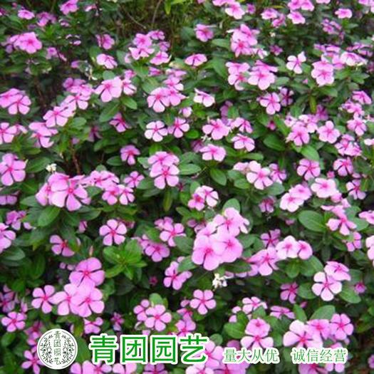 宿迁沭阳县 长春花种子包邮四时春种子三万花种子