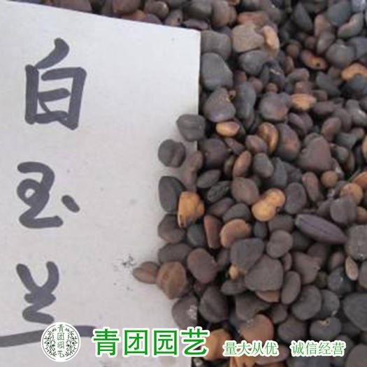 宿迁沭阳县 玉兰种子广玉兰种子紫玉兰种子白玉兰种子包邮