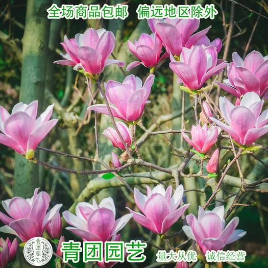 宿迁沭阳县 紫玉兰种子包邮紫玉兰新种子包邮广玉兰种子包邮