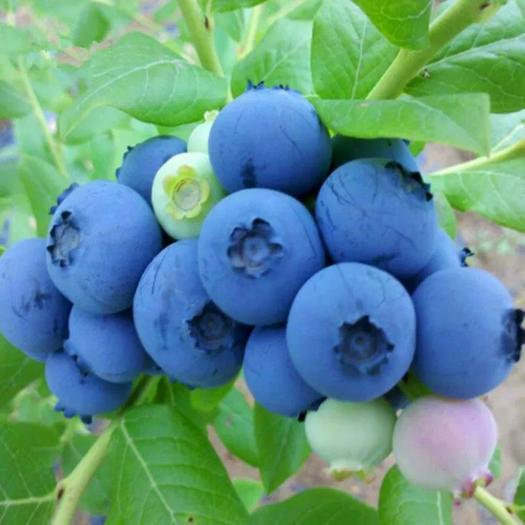 平邑县兔眼蓝莓苗 高丛 半高丛 矮丛蓝莓 品种齐全 保证品种 基地直销