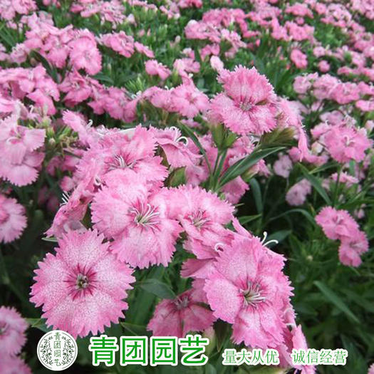 宿迁沭阳县 石竹种子常夏石竹种子新种子包邮