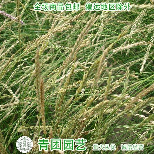 宿迁沭阳县 冰草种子高产冰草种子冰草新种子包邮