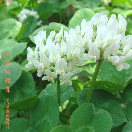 宿州灵璧县三叶草种子 白三叶种子白三叶种子包邮白三叶新种子包邮