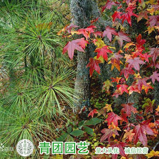 沭阳县 枫香种子新种包邮