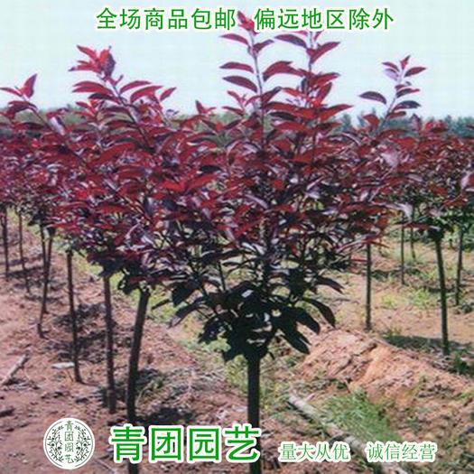 沭阳县 红叶李种子红叶李新种子包邮