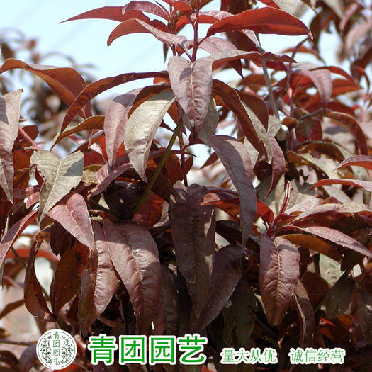 沭阳县 红叶李种子新种子包邮