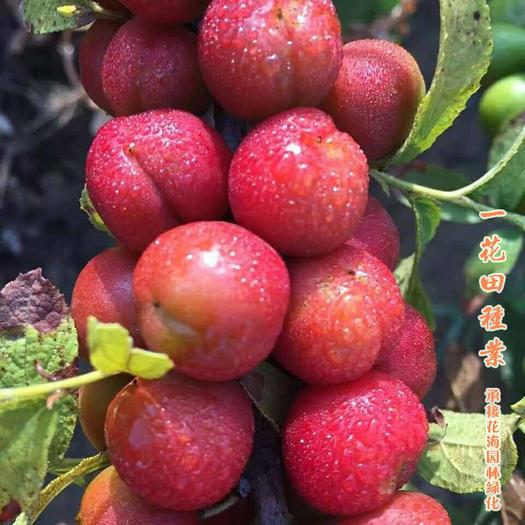 宿州灵璧县 钙果种子钙果新品种新种子包邮