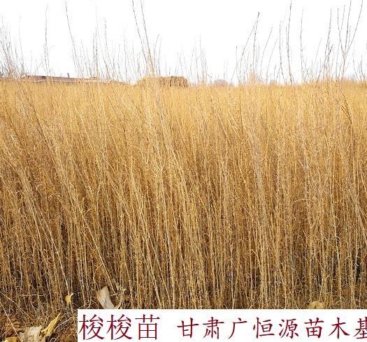临泽县 供应梭梭苗 一年生梭梭树苗 30公分以上梭梭苗木