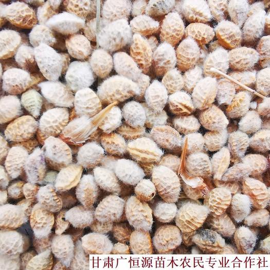 张掖临泽县 供应花棒种子 纯新黄货花棒籽种 苗圃育苗精品桦棒籽