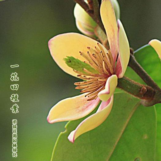 灵璧县 含笑花种子新种子包邮