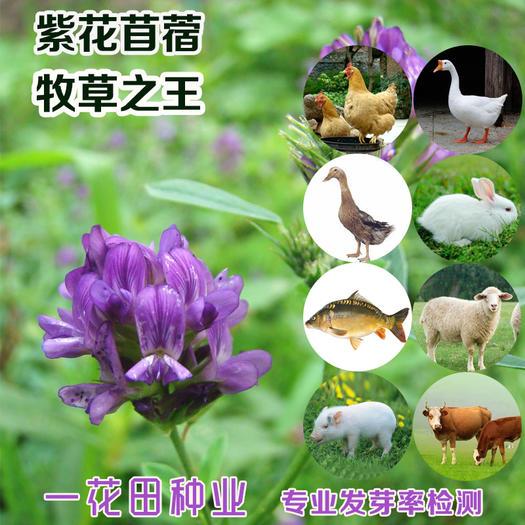 宿州灵璧县 紫花苜蓿种子包邮高产紫花苜蓿种子紫花苜蓿种子批发
