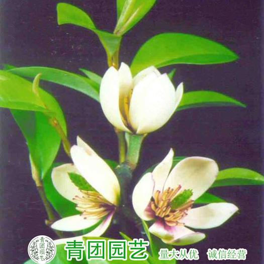 沭阳县 含笑花种子包邮