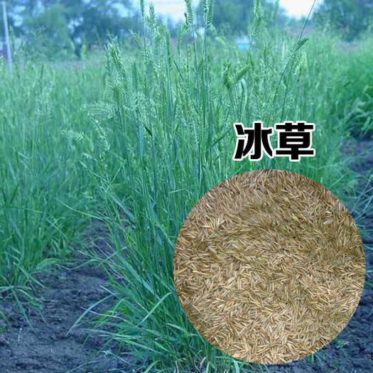 宿迁沭阳县 优质牧草种籽冰草种子别名野麦子扁穗冰草羽状小麦草多年生禾草